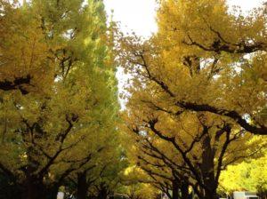神宮外苑 銀杏並木 見頃