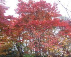 京都 嵐山 紅葉 時期
