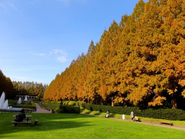 メタセコイア並木 紅葉 見頃