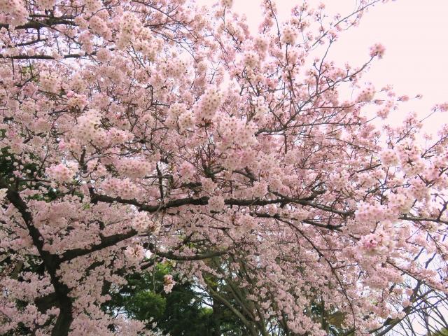 上野公園 桜 見ごろ