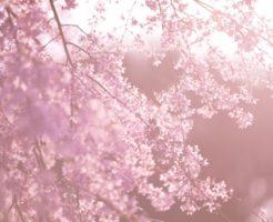 京都府立植物園 桜 見頃
