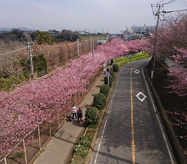 三浦海岸 河津桜 見ごろ