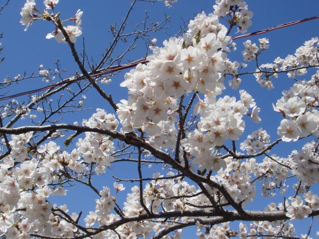 八鶴湖 桜 見頃